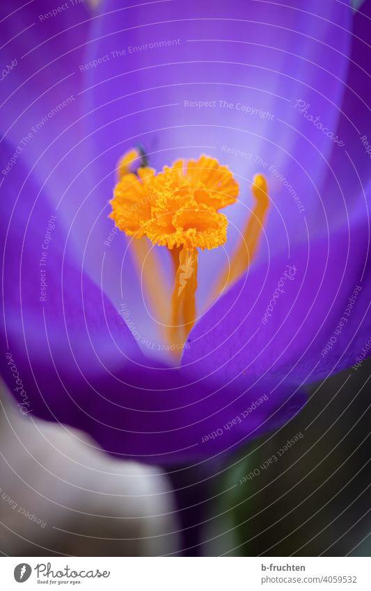 Violette Krokus-Blüte Krokusse Blume Frühling Pflanze violett Blühend Makroaufnahme Natur Nahaufnahme Detailaufnahme Staubbeutel Pollen orange schön Garten Tag