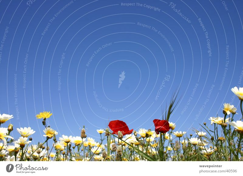 Ibiza Flowers Natur Blume Pflanze Mohn