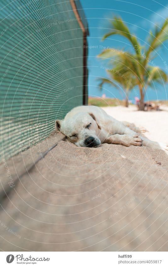 Der Hund schläft im Schatten am Strand schlafen Trägheit Sommer Hitze Palmenstrand ausruhen Erholung dösen liegen ruhig Zufriedenheit Tier träumen Müdigkeit