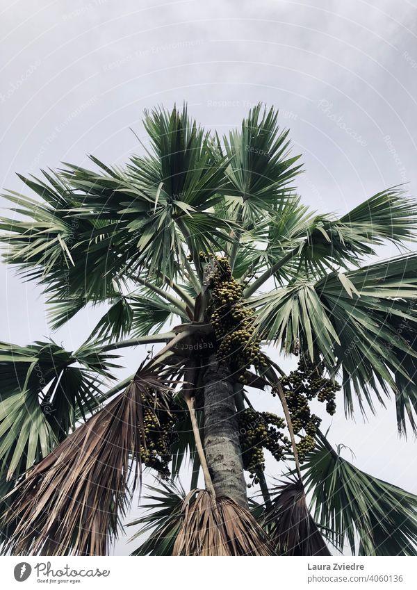 Palme mit Früchten Palmen Tropen exotisch Pflanze Palmenwedel Baum Handfläche Natur tropisches Klima Holz Blatt Schönes Wetter Sommer grün