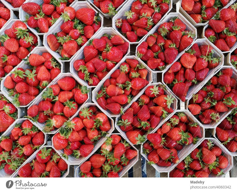 Frische rote Erdbeeren in Kunststoffschalen auf dem Wochenmarkt an der Bockenheimer Warte in Frankfurt am Main Bockenheim in Hessen Frucht Beere Obst Rot Markt