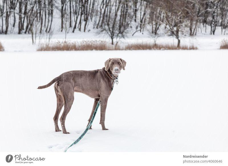 Weimaraner Jagdhund in einer Winterlandschaft weimaraner jagdhund schnee winter haustier vorstehhund hübsch junghund wald toben spiel klug aufmerksam portrait