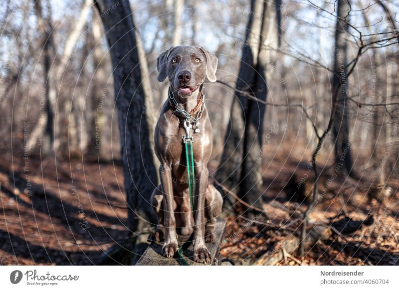 Weimaraner Jagdhund im Wald weimaraner jagdhund haustier vorstehhund hübsch junghund klug aufmerksam portrait reinrassig wald hundeportrait kurios baum