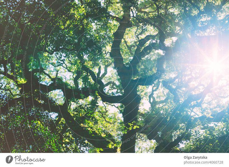 Sonnenlicht strömt durch die eichengrüne Krone. Blatt Licht Baum Eiche Hintergrund blau alt Park Himmel Sommer nach oben Niederlassungen schön