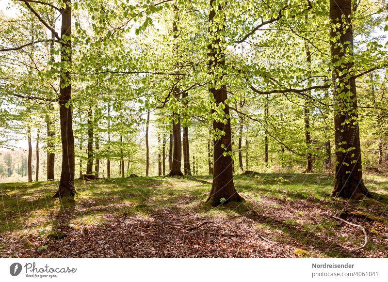 Frühlingssonne in einem Buchenwald mit frischem Grün buchenwald sommer sommerlich frühling alt sonnenstrahlen wärme beschaulich land ländlich gegenlicht fagus