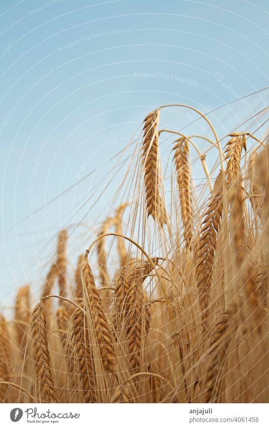 Maisfeld Landschaft mit blauem Himmel vertikal Kornfeld abschließen Weizen Feld Ackerbau Natur Weizenfeld Ähren Getreidefeld Gerste Ernährung Nutzpflanze