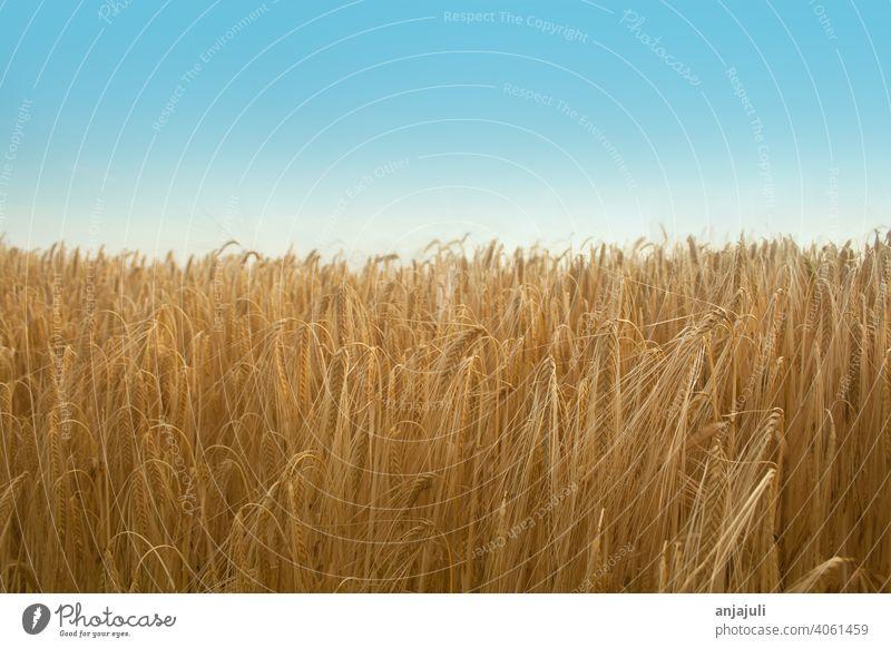 Kornfeld im Sommer mit blauem Himmel. landschaft getreide felder blauer himmel Getreide Weizen Natur Feld Weizenfeld Getreidefeld Gerste Ähren Ernte Nutzpflanze