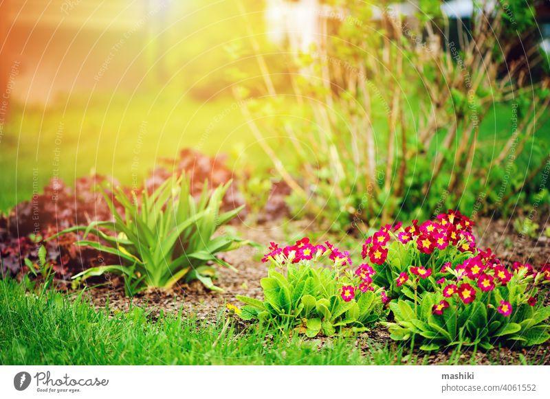 lila Primel Blumen blühen in sonnigen Frühling Garten Kissen-Primel Pflanze Gartenarbeit grün Natur primula Blatt Überstrahlung im Freien Saison Ostern Gärtner