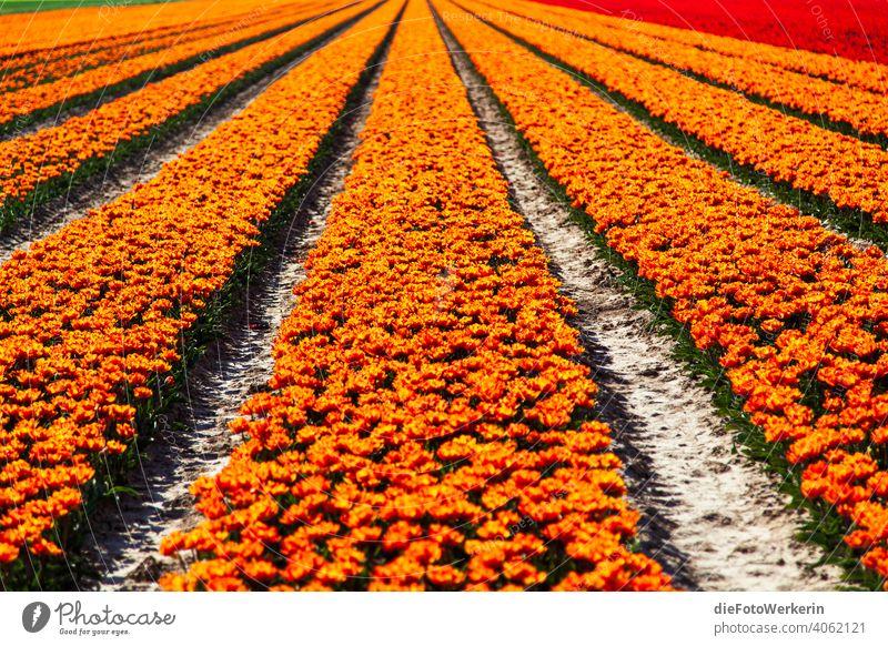 orange blühendes Tulpenfeld Blume Farben Farbenfroh Feld Fluchtlinien Landschaft Landwirtschaft Natur Pflanze Sonstiges braun rot