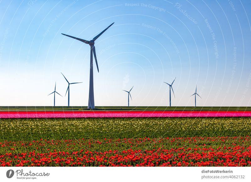 blühende Tulpenfelder mit Windrädern Blume Farben Feld Hell Kontrastreich Landschaft Landwirtschaft Natur Pflanze Sonstiges Technologie Windrad grün weiß