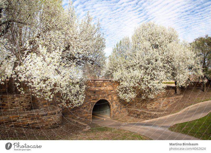 Wunderschön blühende Bradford-Birnenbäume im Frühling in Texas Ackerbau neben Überstrahlung Blüte botanisch Botanik bradford bradford birnbaum Niederlassungen