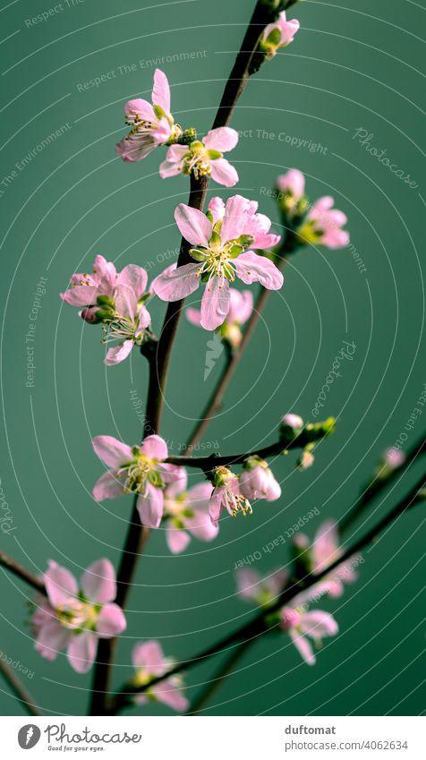 Rosa Pfirsichblüte an einem Zweig vor grünem Hintergrund, Makroaufnahme Blume Blüte Pflanze Blühend Natur Schwache Tiefenschärfe Garten Pfirsichblüten