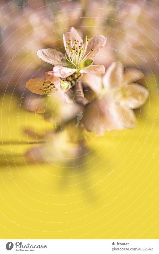 Rosa Pfirsichblüten an Ast auf gelbem Hintergrund, Makroaufnahme Blume Blüte Pflanze Blühend Natur Schwache Tiefenschärfe Garten Nahaufnahme Hanami Frühling