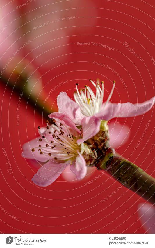 Rosa Pfirsichblüte vor rotem Hintergrund, Makroaufnahme Blume Blüte Pflanze Blühend Natur Schwache Tiefenschärfe Garten Pfirsichblüten Nahaufnahme Hanami