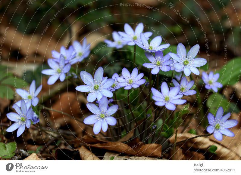 Leberblümchen im Wald Hahnenfußgewächs Waldboden Frühling Frühblüher Hepatica Pflanze Farbfoto Natur Blume Außenaufnahme Blüte Menschenleer