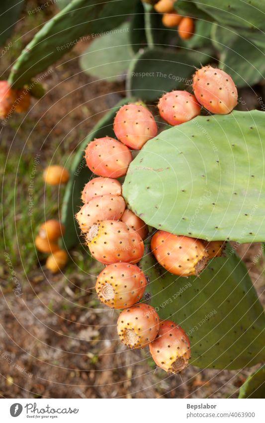 Kaktusfeigen auf Kaktus Kalorie schließen farbenfroh kulinarisch Diät exotisch Feige Lebensmittel frisch Frucht grün Gesundheit Licht tiefstehend natürlich