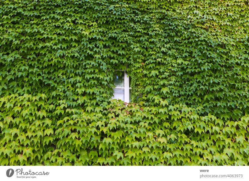 Mit Wildwein bepflanzte Hausfassade in der Altstadt von Schopfheim im Schwarzwald Hintergrund Baden Würtemberg Deutschland Muster Erholung Gebäude Textfreiraum