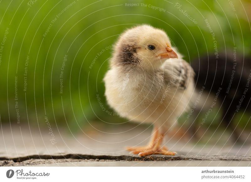 Kleines gelbes Küken in der Natur zu Ostern baby frühling gras küken leben nachwuchs natur ostern tiere wiese niedlich Außenaufnahme Vogel Tier klein