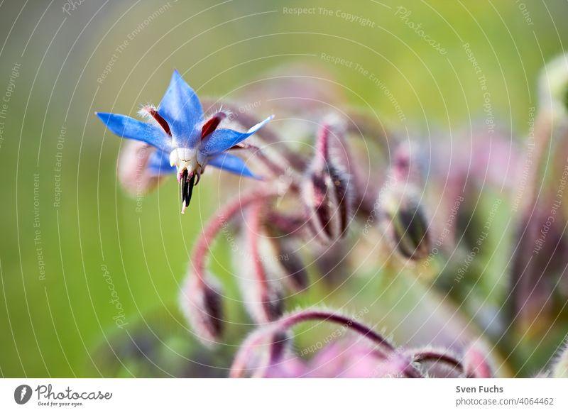 Ein blauer Borretsch (Borago officinalis) involler Blüte. Daneben Andere, deren Blüte noch geschlossen ist borretsch gurkenkraut kukumenkraut borago officinalis
