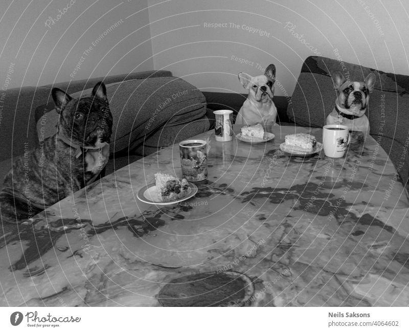 unser Mittagstisch französische Bulldogge Abendessen Tisch Hund Becher Teller Humor drei niedlich Tier Haustier beobachten Mittagspause Kuchen onyx Sitzen Blick