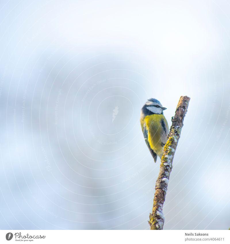 Blaumeise hockt auf einem Ast an einem Wintertag. Tier Vogel Hintergrund Schnabel schön blau hell Feder Federn Fliege Wald Garten Prima Lebensraum Weissdorn