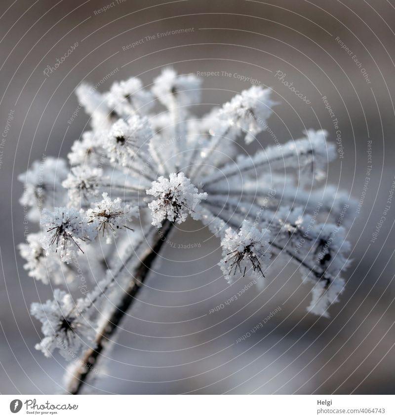 vertrocknete Doldenblüte mit Raureif besetzt Eiskristalle Winter Kälte Frost bizarr kalt gefroren Natur frieren Pflanze Außenaufnahme Nahaufnahme Menschenleer