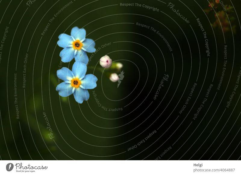 für willma zum Geburtstag | Ver-giss-mein-nicht Blume Blüte Vergissmeinnicht Knospe Nahaufnahme Macro Sommer Sommerblume Garten blühen Natur natürlich Pflanze