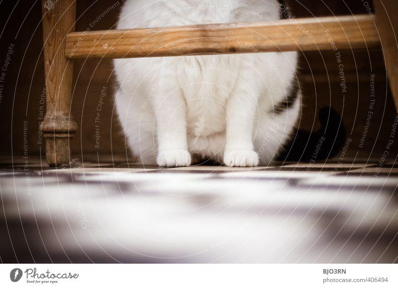 vis-à-vis Katze braun schwarz weiß Pfote Anschnitt Stuhl Beine sitzen Bodenbelag ruhen ruhig Fell kariert Kontrast Haustier Innenaufnahme Küche unten Schutz