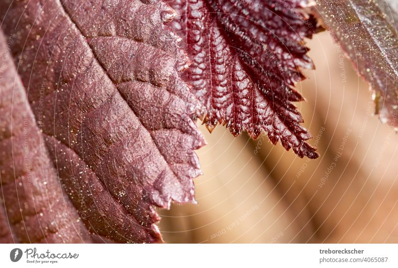 Textur Rote Blätter eines Haselnussstrauchs Tapete Hintergrund Natur rot Saison Blatt natürlich braun Herbst gelb fallen Wald Struktur grün Nahaufnahme Pflanze