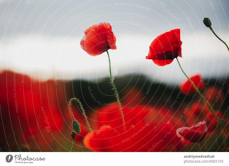 die blumen - ein mohn auf dem feld. der dunkle himmel Blume Mohn traumhaft Hintergrund schön rot Sommer Himmel Natur dunkel blau Schönheit schwarz Nahaufnahme