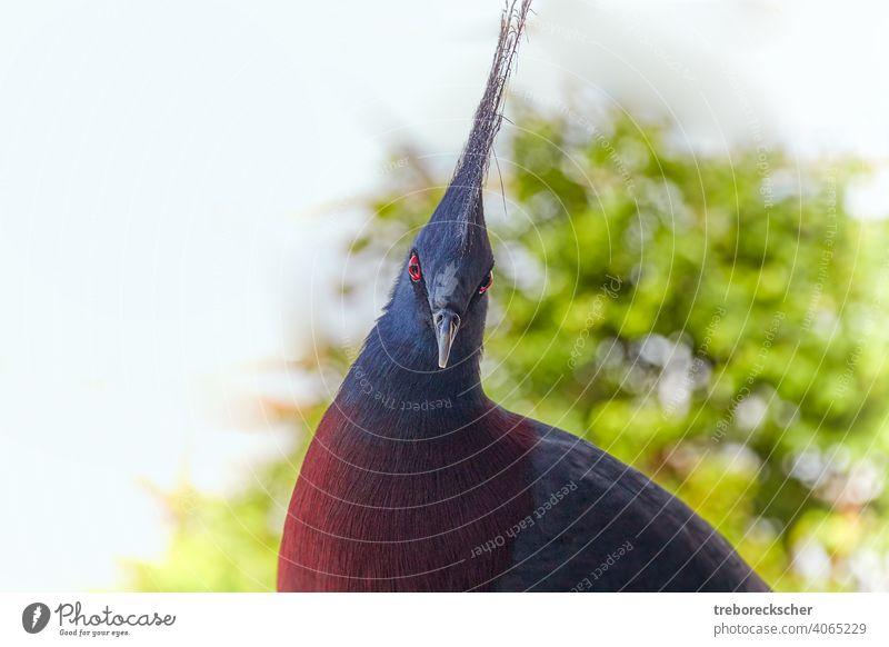 Victoria-Krontaube, der Vogel schaut mit seinen roten, schwarzen Augen in die Kamera Taube Tierwelt blau tropisch gekrönt Kopf schön exotisch Krone wild goura