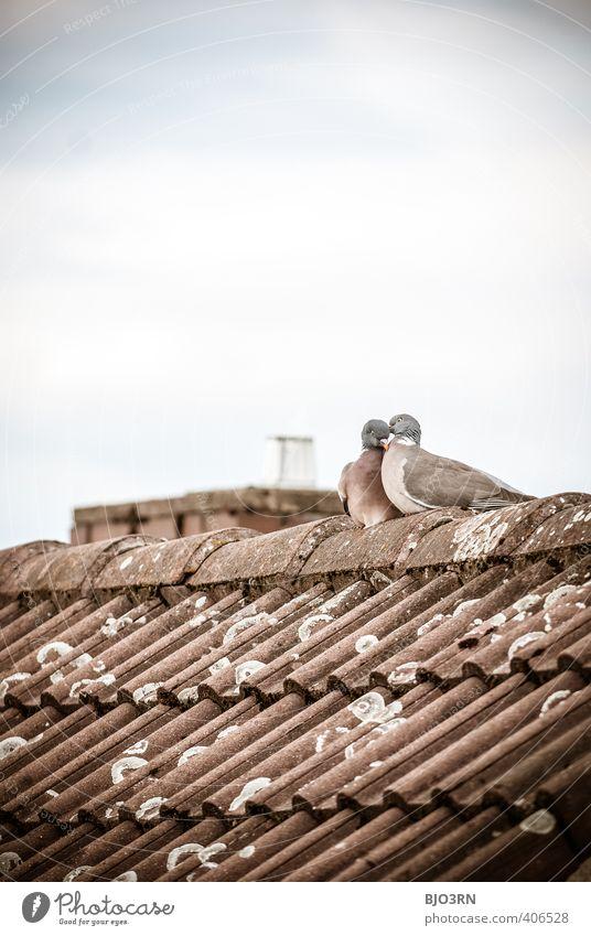 über unseren Köpfen Himmel Wolken Dach Schornstein Taube 2 Tier Tierpaar Brunft berühren Liebe sitzen authentisch Zusammensein Glück nah niedlich blau braun