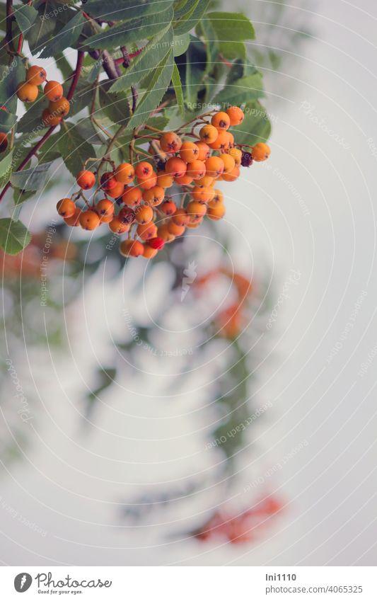 Blätter und Früchte der Vogelbeere Eberesche Vogelbeerbaum Samen orange grün Sorbus aucuparia Mehlbeere Futterpflanze Baum August September Büschel verschwommen