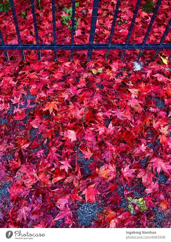Rote Blätter vor schwarzem Zaun Herbstlaub Herbstfärbung Blatt Laubwerk herbstlich Farbfoto Herbststimmung Außenaufnahme fallen Jahreszeiten mehrfarbig rot