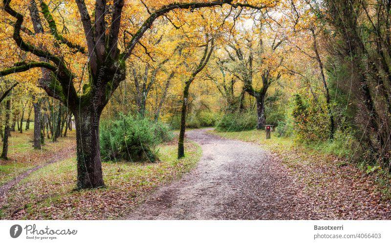 Weg durch den farbenfrohen Stadtpark Bosque de Armentia im Herbst mit knorrigen Eichen, im Grüngürtel von Vitoria, Baskenland, Spanien Park Wald Stadtwald