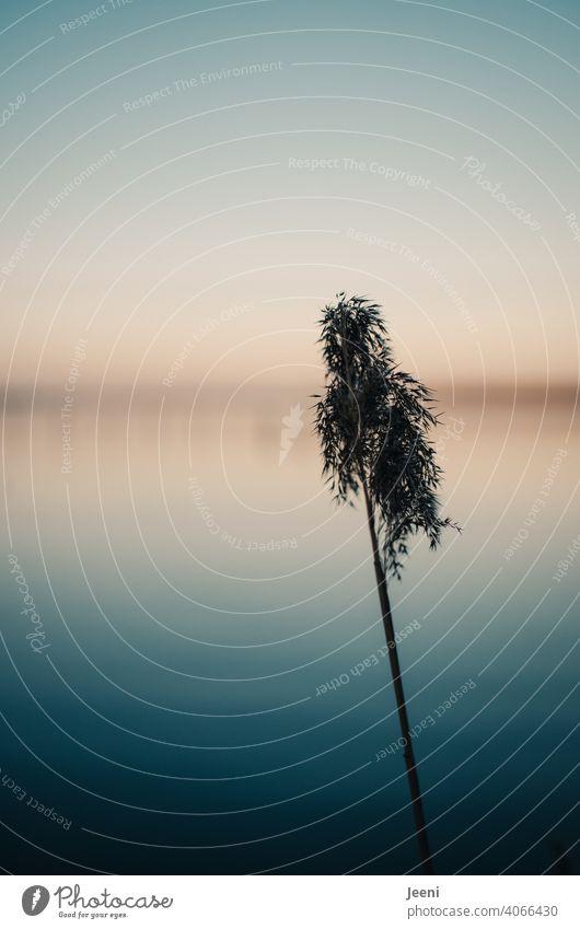 Einzelnes Schilfgras an einem kalten sonnigen Wintertag am See - der Himmel leuchtet blau und orange in der frühen Abenddämmerung Schilfrohr schilfhalm Gras