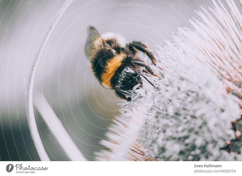 Hummel sitzt auf einer Blume bestaeuben Fahne fliegen gelb hummel Insekt Makro Natur nektar Tier Nahaufnahme Nektar Garten Pflanze Farbfoto Biene Blüte Duft