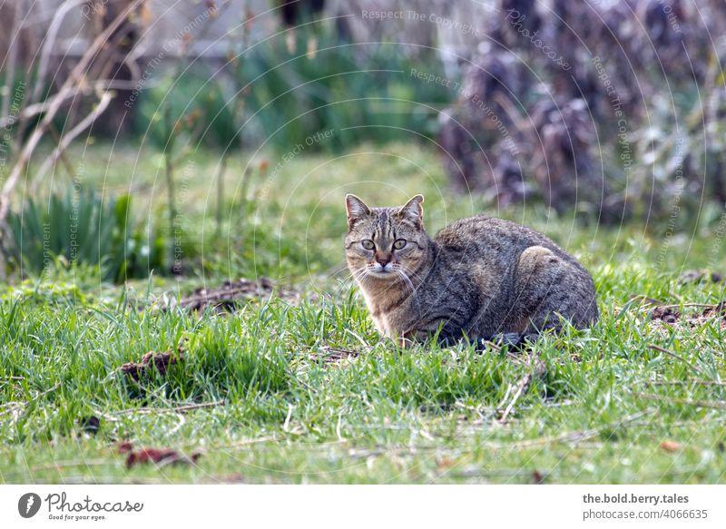 Getigerte Katze liegend im Gras mit Sträuchern im Hintergrund Fell Tier Hauskatze Haustier beobachten Wachsamkeit Farbfoto Garten Außenaufnahme getigert