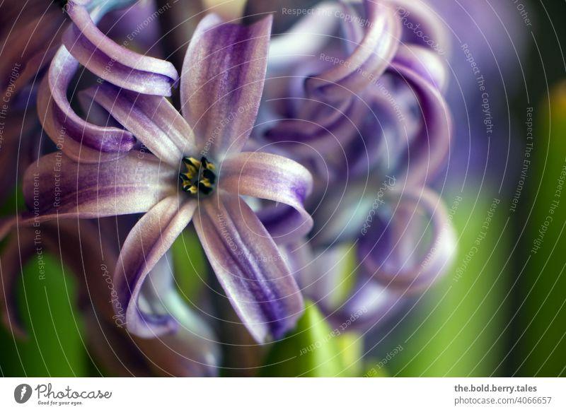 Hyazinthe lila/violett Blüte Blume Pflanze Frühling Blühend Nahaufnahme Farbfoto Schwache Tiefenschärfe schön Menschenleer Tag Innenaufnahme