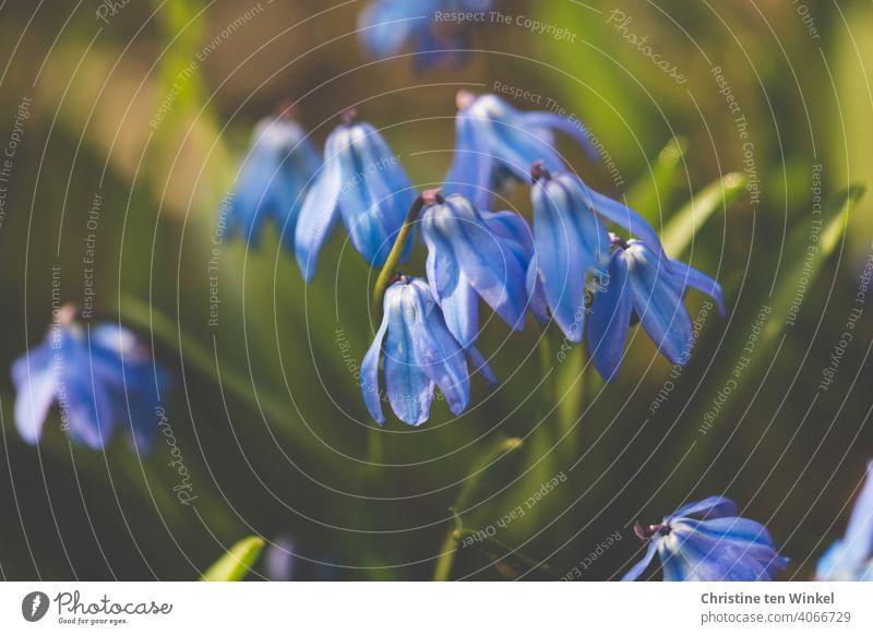 Blausternchen im Sonnenschein Scilla siberica Frühling Frühlingsboten Pflanze Blume Blüte Natur Blühend Zwiebelblume Frühblüher Garten Frühlingsgefühle