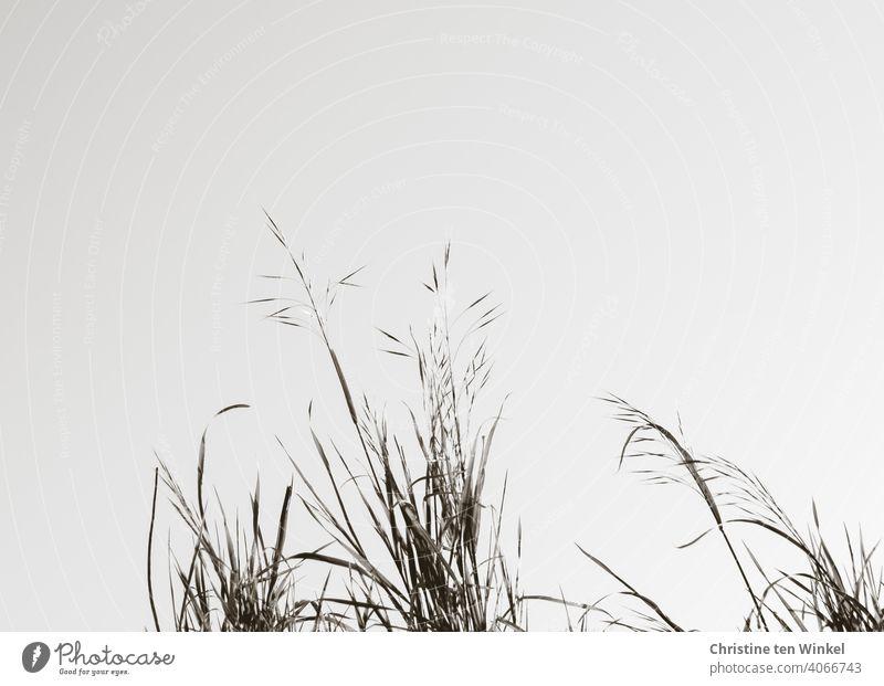 Zarte Gräser vor hellem Himmel, schwarzweiss, monochrom Gras Wildpflanze Unkraut Natur Pflanze Außenaufnahme Nahaufnahme Umwelt Tag Blüte Sommer Frühling Herbst