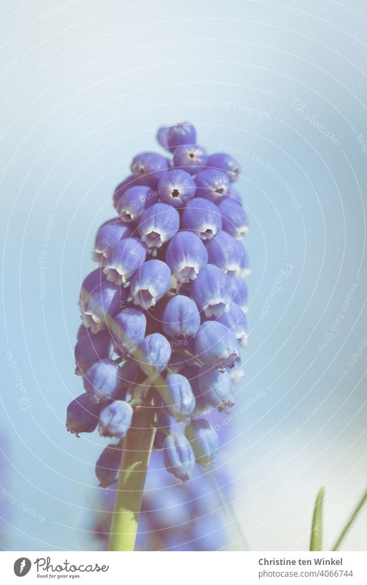 Traubenhyazinthe / Perlhyazinthe Perlhyazinten Hyazinthe hellblau Pflanze Blauer Hintergrund Frühlingserwachen Blühend Nahaufnahme Natur Blume schön Blüte