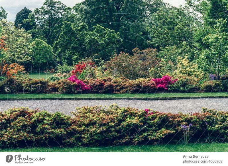 Schöner Garten mit blühenden Bäumen im Frühling Park Wales Goldregen Bogen rhododendron Pflanze Blume Munningham Natur Rhododendren rosa Blüte Blütezeit