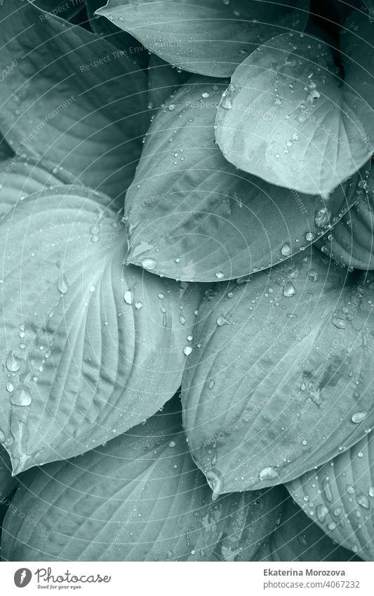 Wassertropfen auf einem Blatt nach regen, grün umweltfreundlich organischen Hintergrund, Klarheit, Reinheit, Frische Konzept, Ökologie, Sommer natürliche Pflanze, Gezeiten Farbe getönt