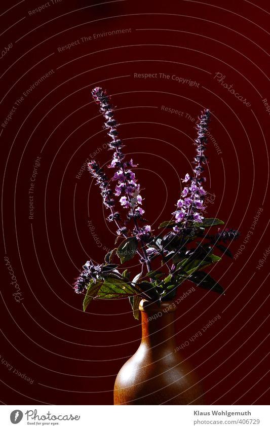 Gaumenkitzler grün rot Blatt Blüte braun Kräuter & Gewürze Lippenblüter