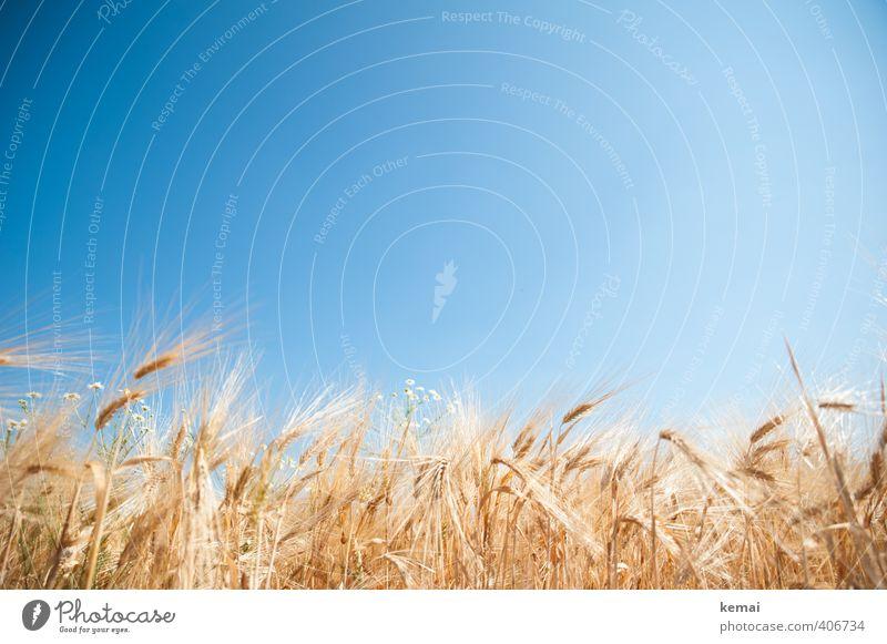Fields of gold Natur blau Pflanze Sommer gelb Umwelt Wärme hell Feld Wachstum Schönes Wetter Wolkenloser Himmel sommerlich Nutzpflanze Gerste gedeihen