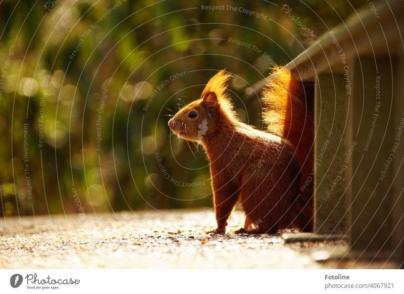Ist dieses Eichhörnchen gierig nach der nächsten Nuss oder einfach nur neugierig? Außenaufnahme Wildtier Farbfoto Tier Menschenleer Freiheit Umwelt frei