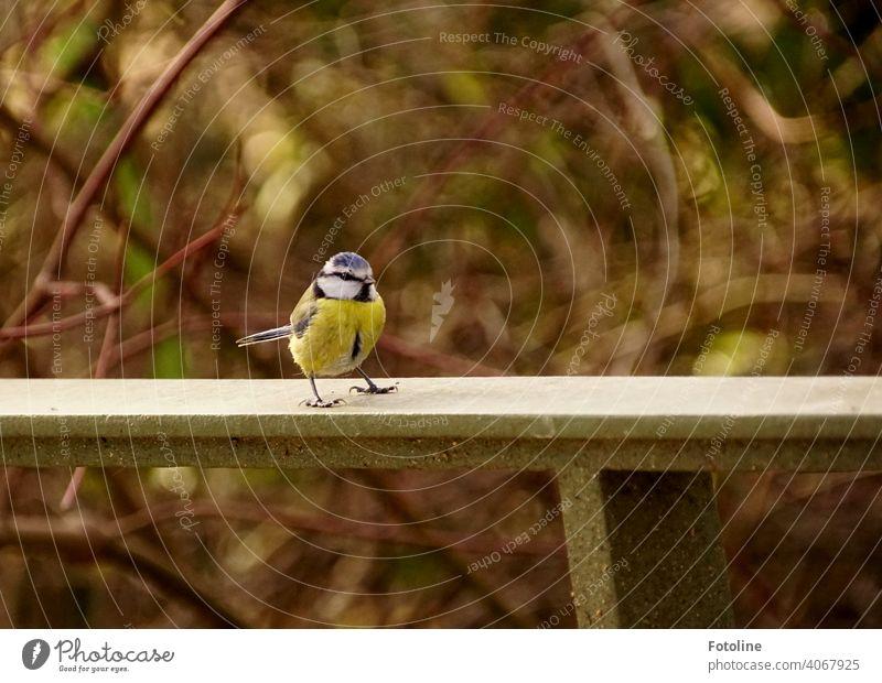 Die kleine Blaumeise sitzt auf einem Geländer Natur Himmel Vogel Außenaufnahme Wildtier Farbfoto Tier Menschenleer Freiheit Umwelt frei Vögel natürlich Luft