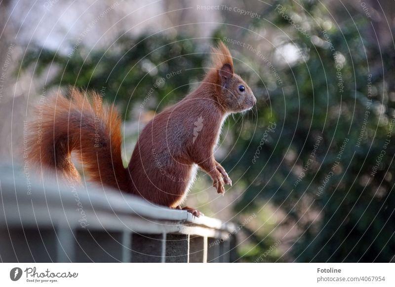 Das Eichhörnchen hält Ausschau nach der nächsten Erdnuss von Fotoline Außenaufnahme Wildtier Farbfoto Tier Menschenleer Freiheit Umwelt frei natürlich Tag