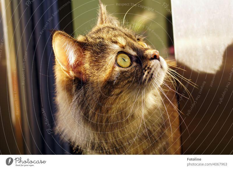 Diese Maine Coon Katze ist die Neugier in Person. Irgendwas hat ihre Aufmerksamkeit geweckt. Sie hat es fest im Blick. Fell Tier Haustier Hauskatze Pfote